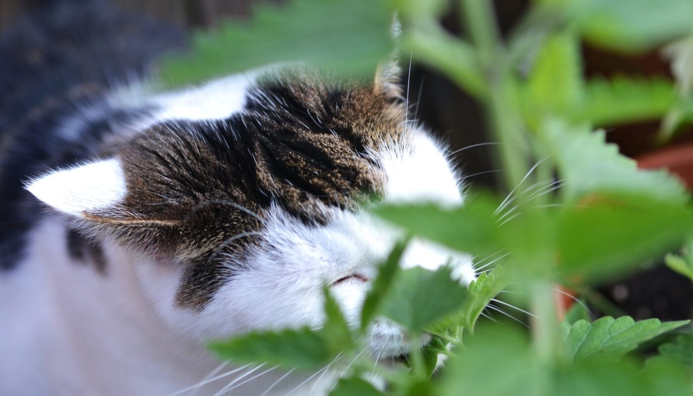 catnip as insect repellent