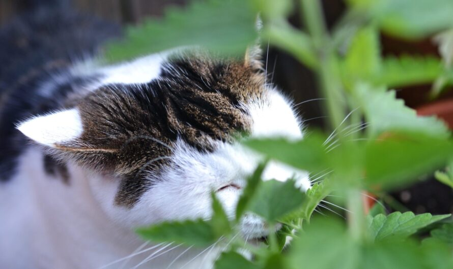 Good News for Pet Owners: Study Links Catnip to Insect Repellent Function