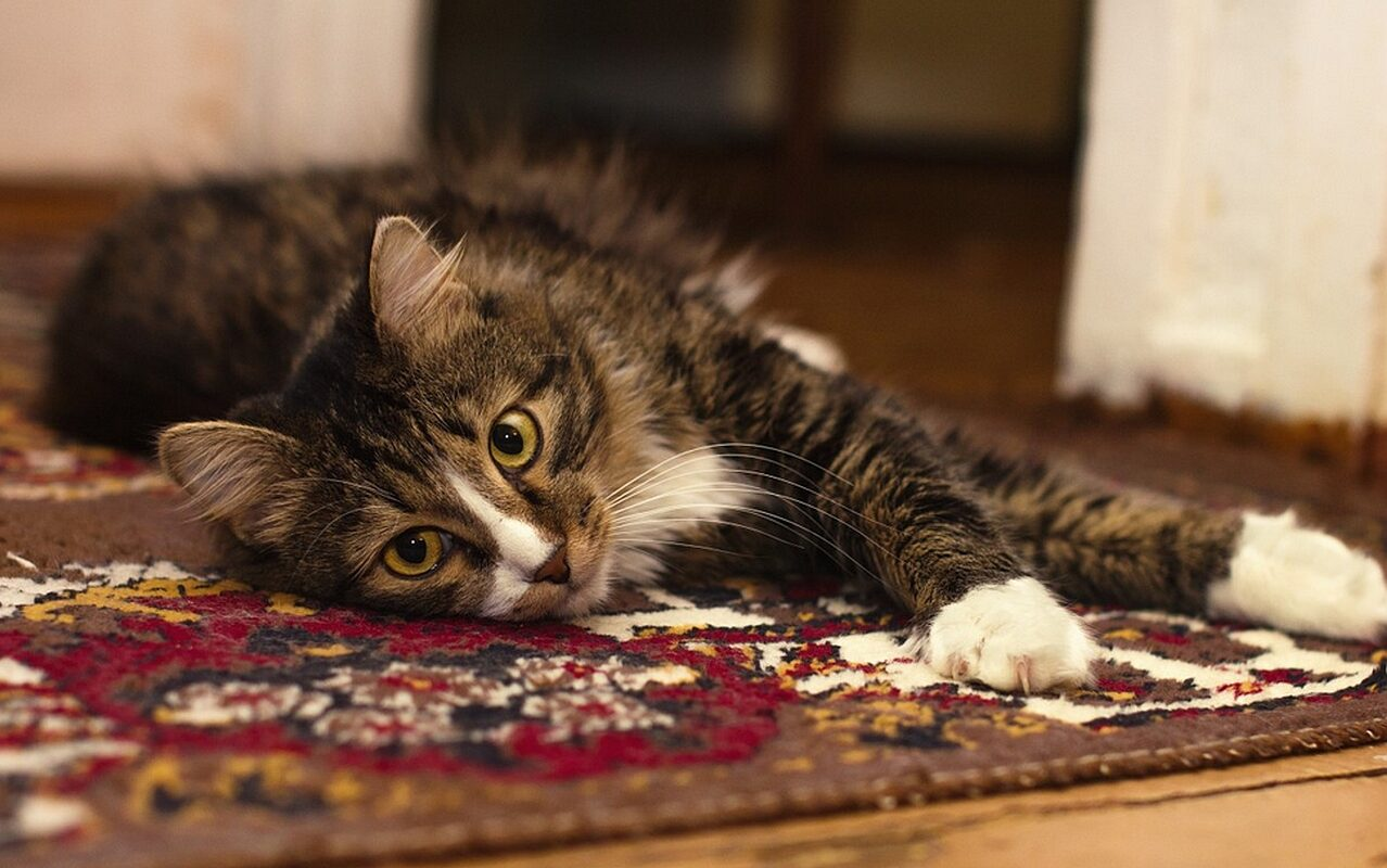 cat peeing on the rug