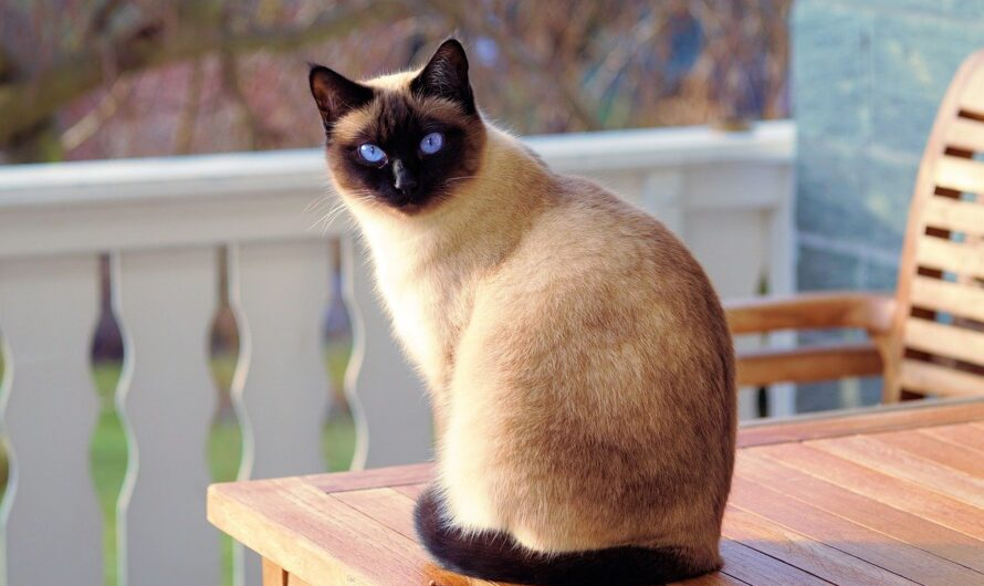 Know Before You Adopt: Siamese Cat Behavior Problems
